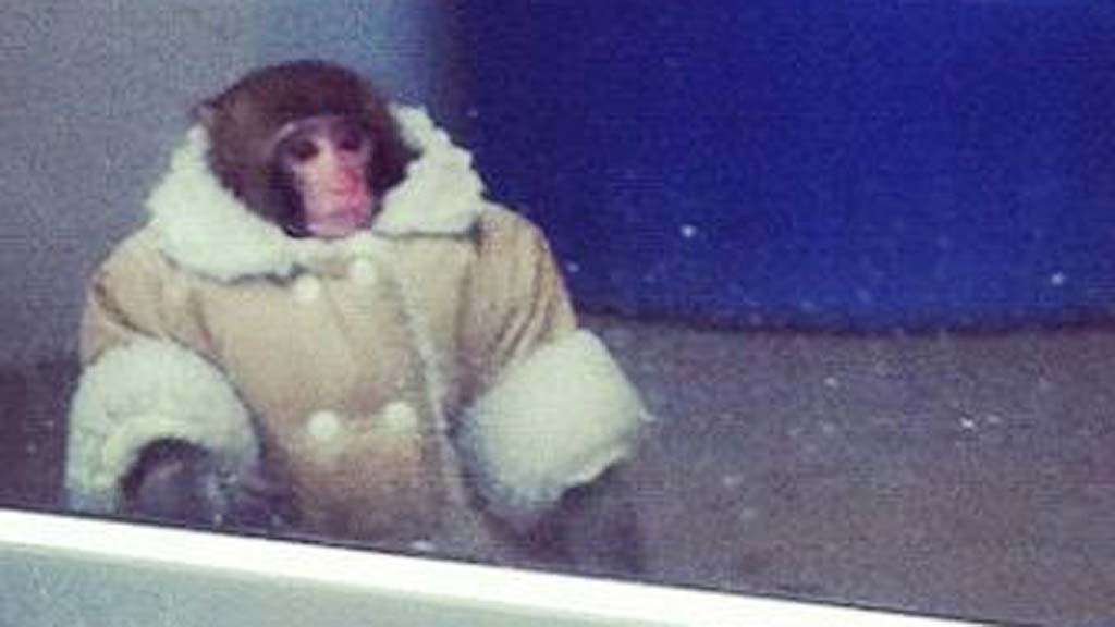 Ikea Monkey, Darwin, Walks Around Parking Lot {Pictures}