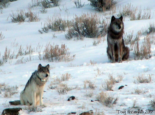 most famous wolf in world shot